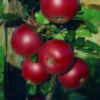 Malus Red Devil