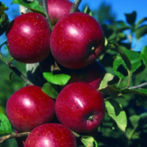 Malus Red Windsor