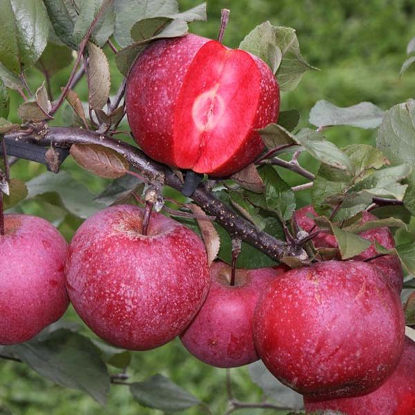 Malus Tickled Pink