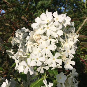 Phlox paniculata 'White Admiral' AGM