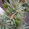 Picea pungens 'Yvette'