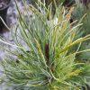 Pinus Parviflora 'Bonnie Bergmann'