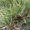 Pinus cembra Frieda