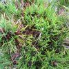 Pinus densiflora x nigra 'Pitchounet'