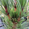 Pinus heldreichii Atze Saute