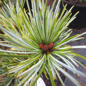 Pinus koraiensis 'China Boy'