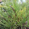 Pinus mugo mopsgold