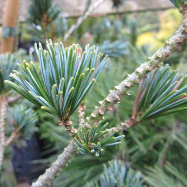 Pinus parviflora 'Pentaphylla Glauca'