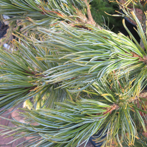 Pinus pumila 'Draijer's Dwarf'