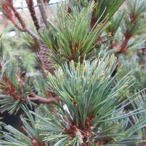 Pinus strobus elf