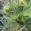 Pinus sylvestris Green Penguin