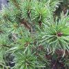 Pinus uncinata 'Litomysl'