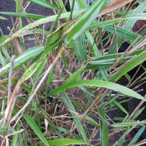 Pleioblastus Chino 'Elegantissima'