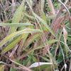 Pleioblastus viridistriatus 'Auricomus' AGM