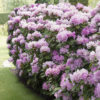 Rhododendron 'Dufthecke Lilac' Inkarho