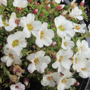 Saxifraga 'Mary Golds Rosea'