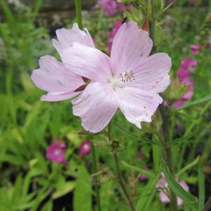 Sidalcea Hybrida 'Elsie Heugh'