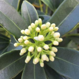 Skimmia japonica Fructo-Alba