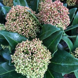 Skimmia japonica 'Giant Pink'