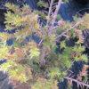 Taxus bacc. 'Luca' (PBR)