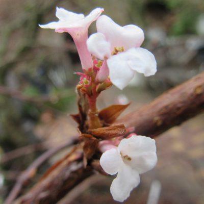 Viburnum Farrers Pink