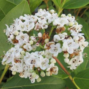 Viburnum tinus 'Macrophyllum'