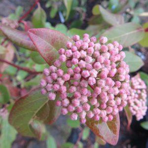 Viburnum tinus purpureum