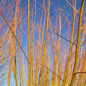 Salix alba 'Hutschinsons Yellow'