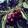 Prunus avium 'Van' HST Colt