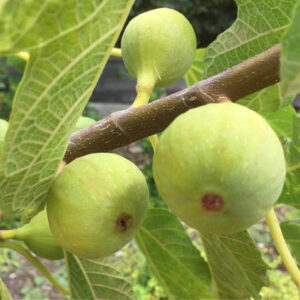 Ficus carica 'Adam'