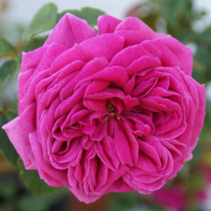 mme Issac Perreire bourbon rose