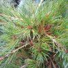 pinus parviflora kenwith