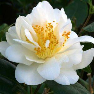 Camellia silver anniversary
