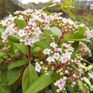 Viburnum tinus 'Little Bognor'