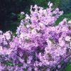 Prunus x subhirtella 'Fukubana'