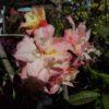 Azalea Cannons Double Pink