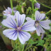 Malva 'Blue Fountain'