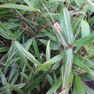 Pseudosasa japonica AGM