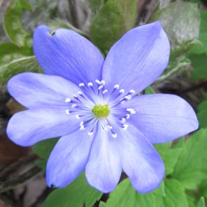 Hepatica transsylvanica 'Blue Jewel'