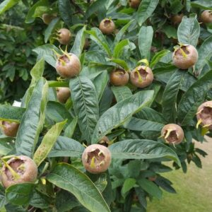Medlar Royal
