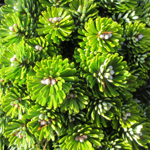Abies koreana 'Wellenseind' on stem