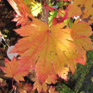 Acer japonicum Vitifolium AGM