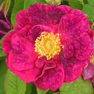 Alain blanchard gallica rose
