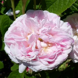 Belle Isis Gallica Rose