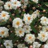 Bennetts Seedling Rambling Rose