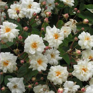 Bennetts Seedling Rambling Rose