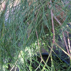 Chamaecyparis lawsoniana 'Drooping Solo'