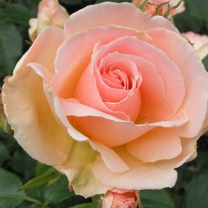 Chandos Beauty Bush Rose
