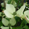 Cornus Kousa Big Apple