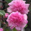 Mme Sancy Parabere Climbing Rose